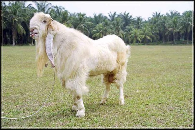 Susu kambing Etawa, asal usul dan sejarahnya